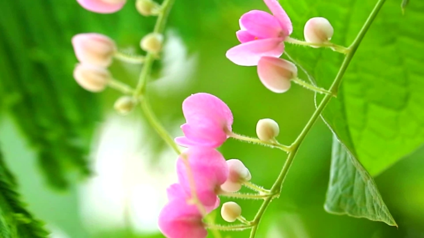 Mexican Creeper plant has pink bouquet flowers blooming on tree in park | Shutterstock HD Video #1034740424