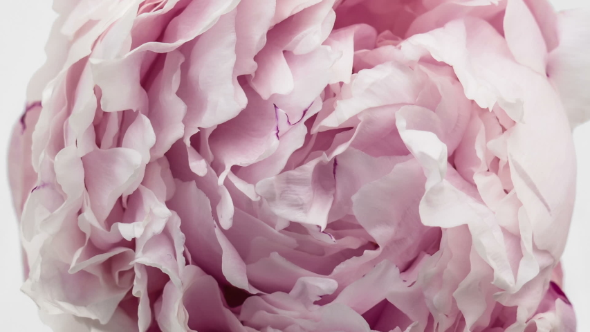 Beautiful pink Peony background. Blooming peony flower open, time lapse, close-up. Wedding backdrop, Valentine's Day concept. #1034828093