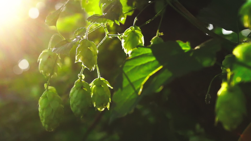 Green fresh hop cones for making beer and bread in backlight closeup Royalty-Free Stock Footage #1034845361