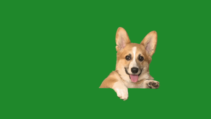 Dog peeps, looks and barks on a green screen