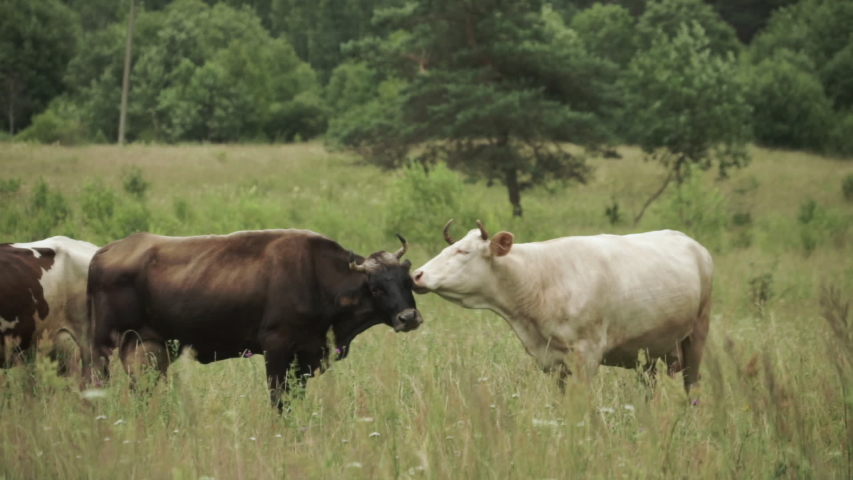 Cow licking another cow on a pasture with forest at the background | Shutterstock HD Video #1034879606