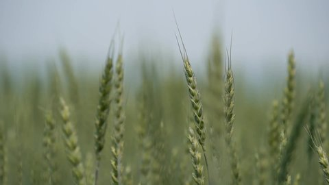 Green ears of wheat, field, agriculture