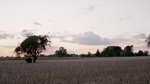 A tree growing among grain, in the background a forest. Big electric poles. Evening, red clouds. Panning to the left,