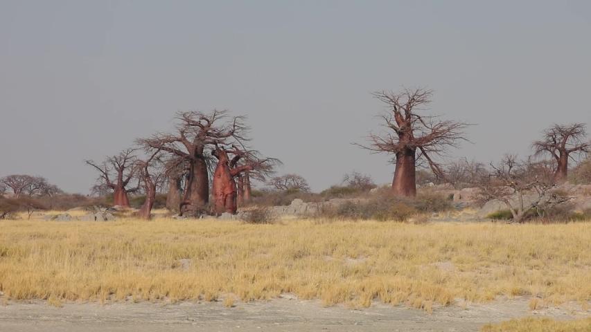 Baobab trees on Kubu Island in Makgadikgadi Salt Pan Botswana | Shutterstock HD Video #1035023696