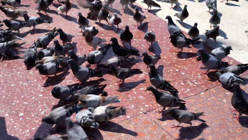 many pigeons eat bread in the city square. pigeons as carriers of infections #1035107171