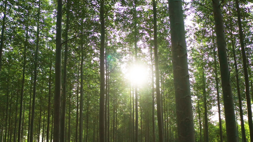 Slowly panning across a forest at sunrise on a summers day with light flickering through the branches in Oxfordshire, England Royalty-Free Stock Footage #1035137303