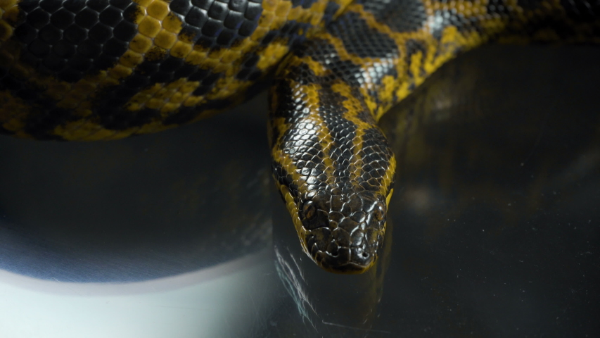 Closeup video of breathing yellow anaconda with head #1035165218