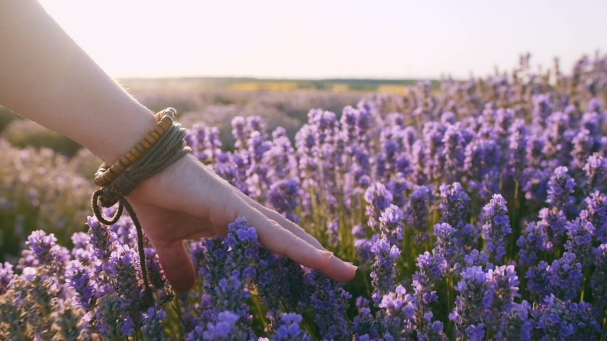 Hand of young woman tenderly holds lavender flowers summer sunset slow motion slide back. View of field of large blooming of lavender flowers. Sun's rays are purple plant. Relax. Aromatherapy