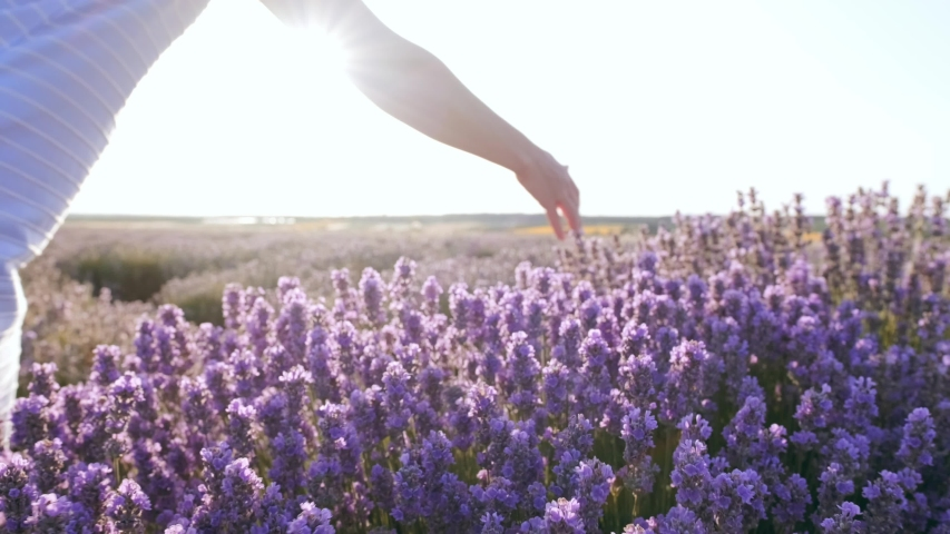 Field large bushes of lavender and lilac flowers slow motion view. The hand of young woman tenderly holds the lavender flowers the backdrop summer sunset. Sun's rays are purple plant. Lens flares | Shutterstock HD Video #1035208526