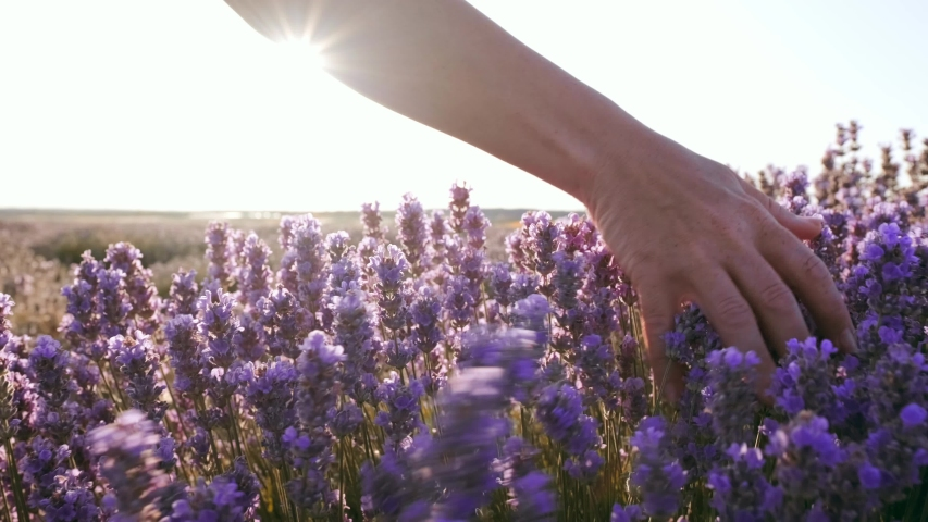 Slow motion view of a field of large bushes of lavender and lilac flowers. The hand of a young woman tenderly holds the lavender flowers the backdrop summer sunset. The sun's rays are purple plant | Shutterstock HD Video #1035208529