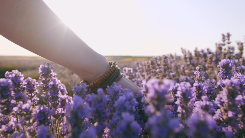 Field of large bushes of lavender and lilac flowers slow motion. Hand of young woman tenderly holds lavender flowers backdrop summer sunset.  Sun's rays are purple plant. Lens flare | Shutterstock HD Video #1035208532