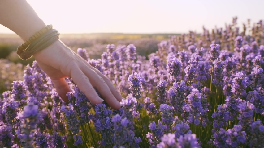Hand of young woman tenderly holds lavender flowers the backdrop summer sunset slow motion. Field of large bushes of lavender and lilac flowers. Sun's rays are purple plant | Shutterstock HD Video #1035208544