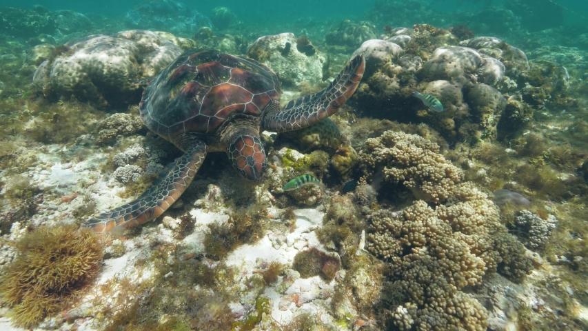 Sea turtle Chelonia mydas is swimming at ocean floor and eating seaweeds. | Shutterstock HD Video #1035265130