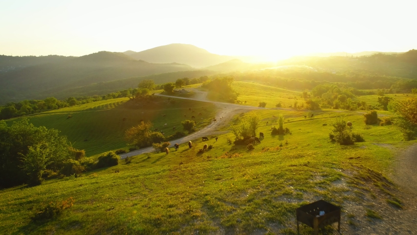 Amazing footage drone flying off green fields and country road at sunset in the suburbs of Sochi, cow and goats grazing on the field