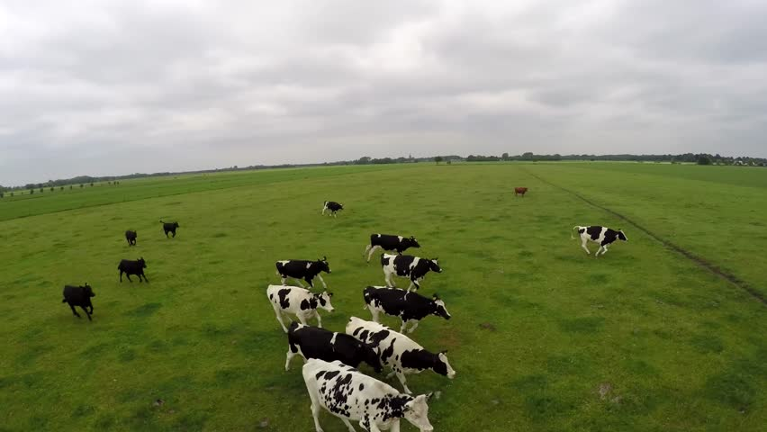 Advanced drone flying backwards in front of running group black and white Holstein milk cows on a green flat grass field and cloudy grey sky 4k very high resolution aerial helicopter view recording