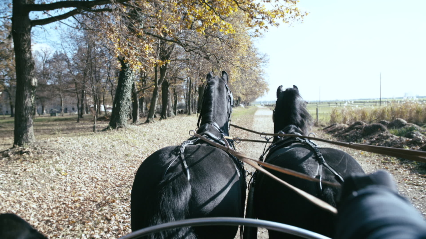 Coach ride in fall with two Friesian slow motion. POV of the horses in focus pulling the coach/carriage while coachmen steering with reins. Driving beside the forest.