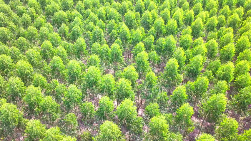Aerial View of Green forest Eucalyptus plantation | Shutterstock HD Video #1035423839