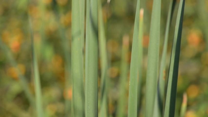 Cattails in a marsh in New Brunswick, Canada   Shutterstock HD Video #1035439223