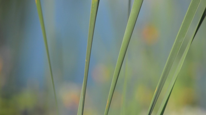 Cattails in a marsh in New Brunswick, Canada   Shutterstock HD Video #1035439226