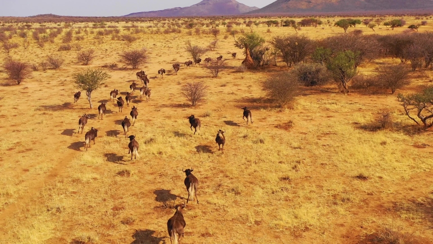 NAMIBIA - CIRCA 2018 - Excellent drone aerial of black wildebeest running on the plains of Africa, Namib desert, Namibia.