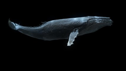 Whale Swimming Loop is a stock motion graphics video that shows a swimming humpback whale shot from the side view.it's loop animation with clean alpha channel