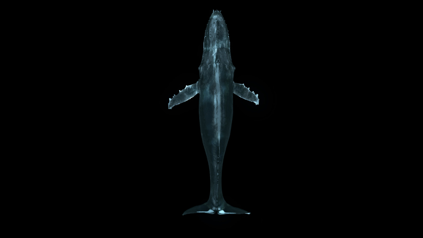 Top View Swimming Whale is a stock motion graphics video that shows the upper side of a swimming humpback whale.it's loop animation with clean alpha channel