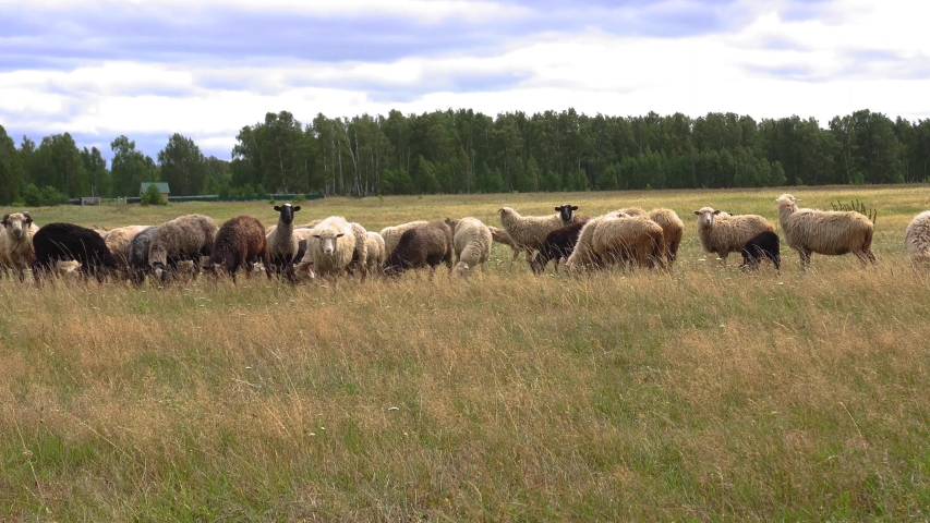 A flock of sheep is browsing on a wide field. We can see a green forest in the background. The summer weather is windy and pretty chilly.