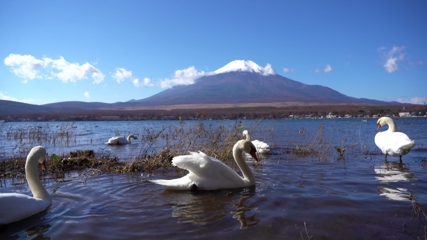 Swans swimming in Lake Kawaguchiko at Mount Fujiyama in Japan. | Shutterstock HD Video #1035517700