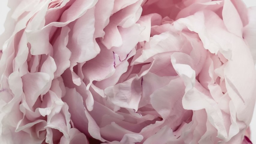 Beautiful pink Peony background. Blooming peony flower open, time lapse, close-up. Wedding backdrop, Valentine's Day concept.  #1035557891