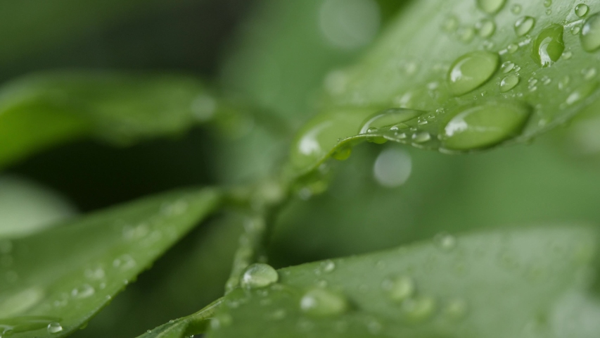 4K Slow motion water on the leaves. #1035580328