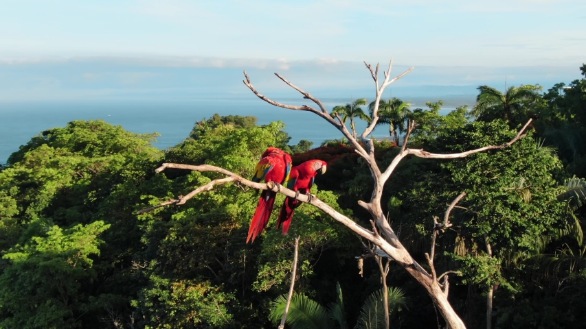 Drone Footage of Two Scarlet Macaws Perched on a Dried Up Tree Surrounded by Green Tropical Trees and the Pacific Ocean in the Background Near Manuel Antonio, Costa Rica
