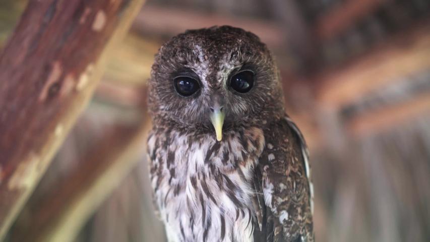 Big eyes owls close up | Shutterstock HD Video #1035604970