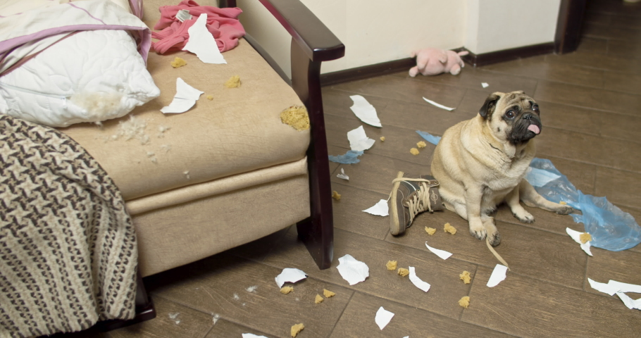 Pug dog made a home mess, left alone, nibbled the sofa. Without the owner. Guilty funny face. Bad Dog Behavior. Damage, spoiled furniture. Scattered things around the apartment. Gnawed, chewed stuff