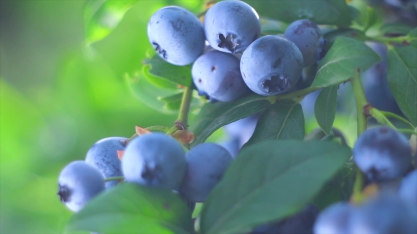 Blueberry. Fresh and ripe organic Blueberries plant growing in a garden. Diet, dieting, healthy vegan food. Bio, organic healthy food. Agriculture. Slow motion 4K UHD video Royalty-Free Stock Footage #1035689075