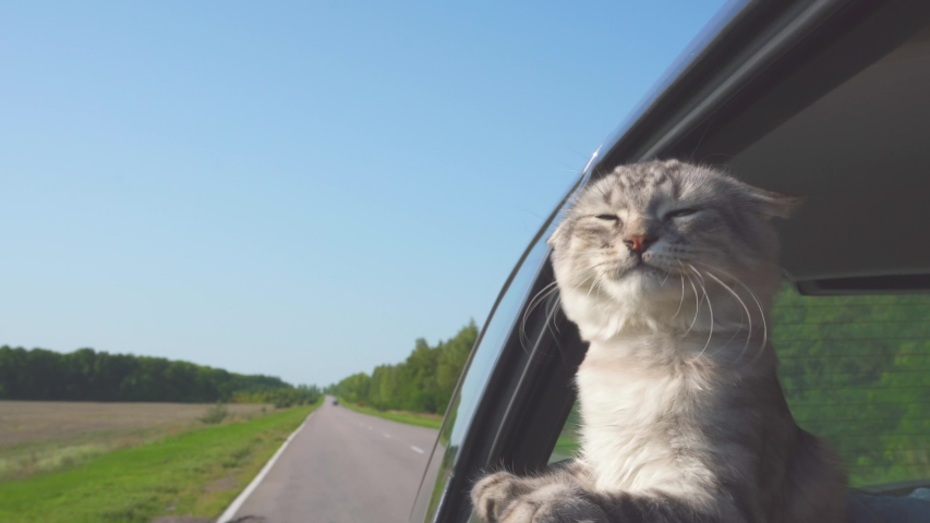 Satisfied cat rides by car and looks out the window. Traveling animal with people. | Shutterstock HD Video #1035701522