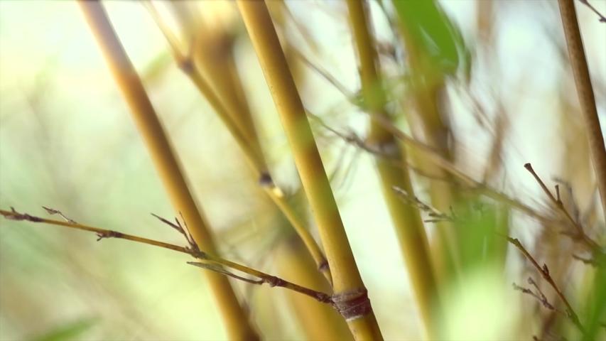 Bamboo. Bamboos Forest. Growing bamboo in Japanese garden swaying on wind. Garden design. Sun light. Slow motion 120 fps, 4K UHD video 3840x2160   Shutterstock HD Video #1035708470