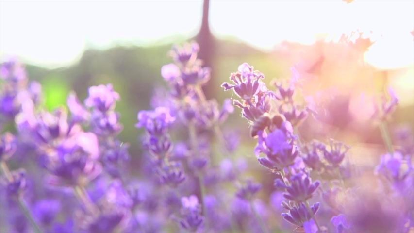 Honey Bee on fragrant Lavender flower. Honeybee working on Growing Lavender Flowers field closeup. Macro. Slow motion 240 fps. Blooming Violet fragrant lavender flowers on a field, close up. 4K UHD Royalty-Free Stock Footage #1035709187