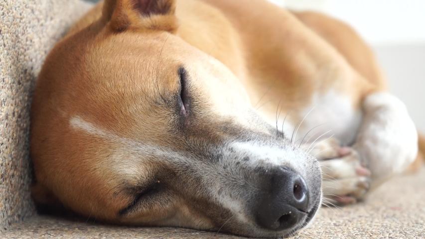 Dogs sleep in the daytime sleep. | Shutterstock HD Video #1035907232