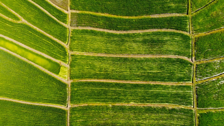 Aerial view  rice plantation in bali, Indonesia.   Shutterstock HD Video #1035920768