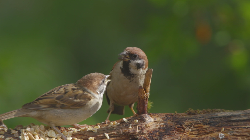 Bird treesparrow animal on ground mother feeding chick landing | Shutterstock HD Video #1035923717