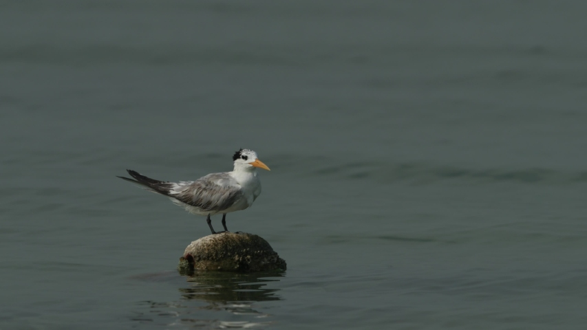 Greater-crested Tern  perched on floating ball at Busaiteen coast during low tide, Bahrain  | Shutterstock HD Video #1035978350