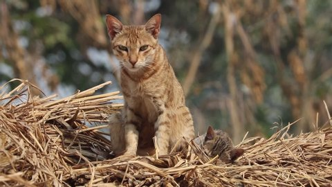 Wild Cat Angry look , Brown fur Cat