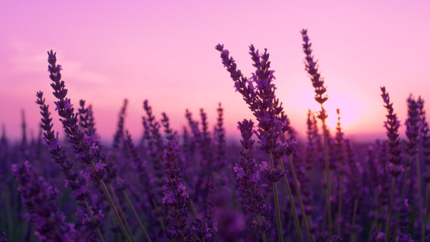 SLOW MOTION, DOF, CLOSE UP: Summer sunset illuminates the blooming fields of lavender in French countryside. Picturesque view of the endless aromatic fields of lavender in tranquil part of Provence.