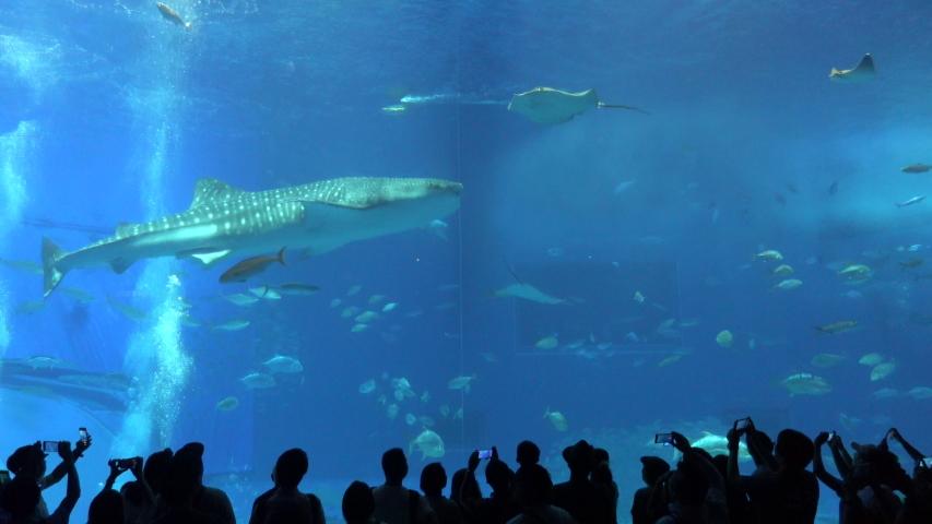 Okinawa Aquarium 4K with 2 Big Whale sharks and various kinds of fish swimming in the tank. At Okinawa Churaumi Aquarium, Japan-July 6, 2019. | Shutterstock HD Video #1036046978