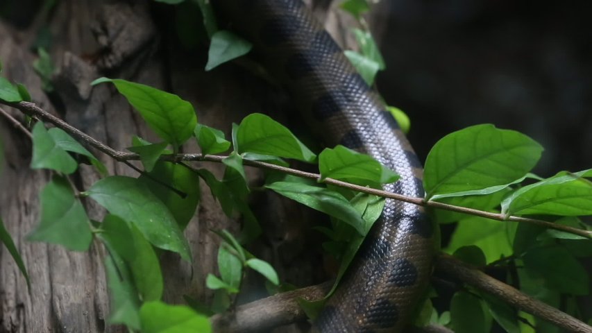Green anaconda in the nature