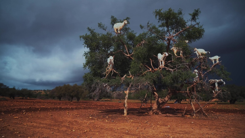 A group of goats is sitting in a Argan Tree eating from the branches in Morocco.