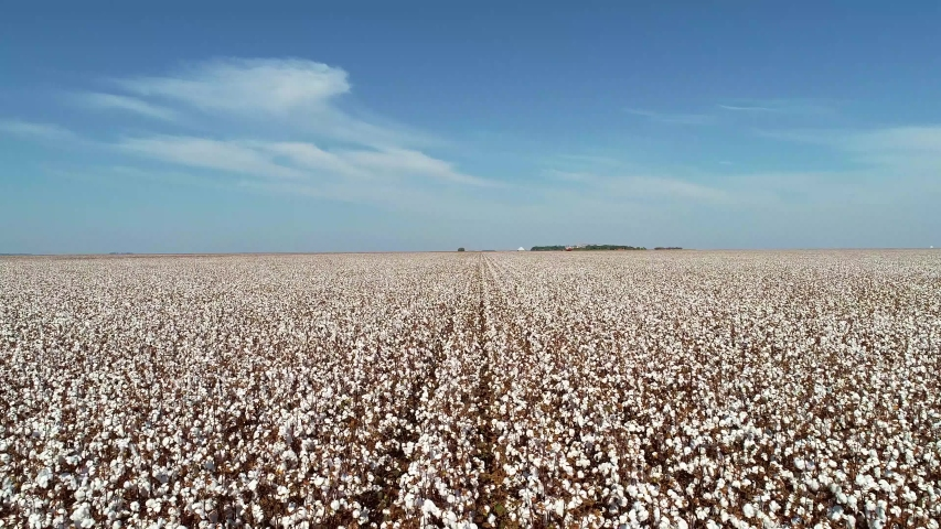 aerial image of cotton, smooth drone movement, large white cotton field in Brazil Royalty-Free Stock Footage #1036079429