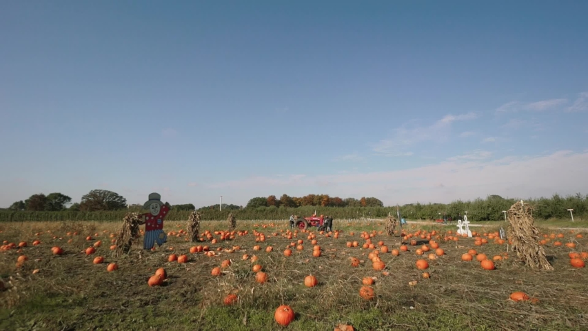 Farm field, Yellow pumpkins are on the field with stacked in rows of pumpkins   Shutterstock HD Video #1036082672