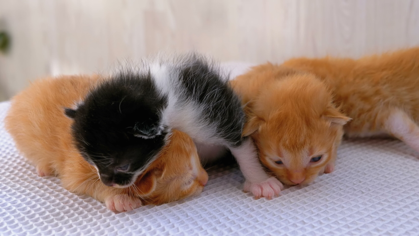 Little Fluffy Four Kittens are Two Weeks Old, Crawling Around on a White Rug. Kittens with not fully open eyes are looking around. Helpless Cute cats are bad on their feet. Kittens lie next to each