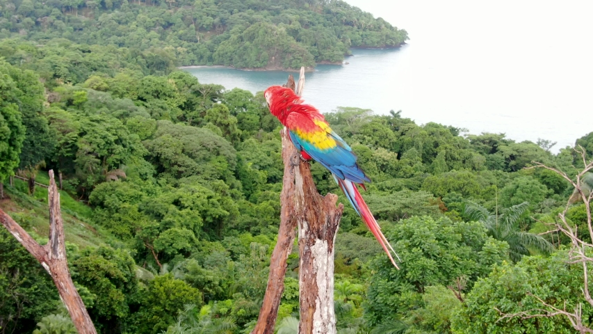 Close up shot of a Scarlet Macaw parrot bird standing on a tree branch with the dense tropical rain forest at Manuel Antonio National Park, Costa Rica   Shutterstock HD Video #1036210640